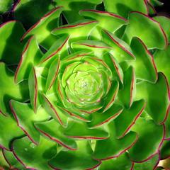 Succulent (PeterCH51) Tags: peterch51 aeonium aeoniumarboreum succulent succulents square squareformat macro closeup makro