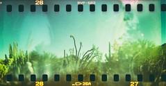 Tentacles of the desert (Graustark) Tags: arizona film cacti holga nik holga120s sprocketholes