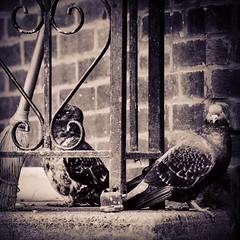 image (Eva O'Brien) Tags: chicago bird nature colors birds nikon ukrainianvillage pigeon pigeons neighborhood instagram d3100 nikond3100 evacares evaobrien