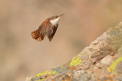 Canyon Wren 1710142 (luluhachidori) Tags: bird wren
