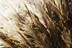 Lighted Plants (louisverplancken) Tags: light plants motion blur nature closeup canon wind simplicity simple eos1100d
