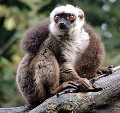4020-Lemur en MarcelleNatureza (Outeiro de Rei) Lugo.