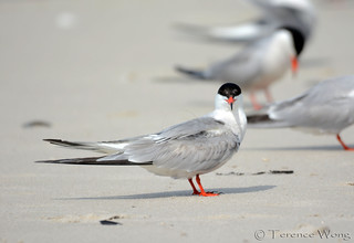 Are you looking at me? Common Tern