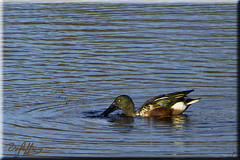 Shoveler Male (Box Brownie Brian) Tags: bird duck nikon waterbird shoveler grebelake whisby whisbynaturereserve boxbrowniebrian