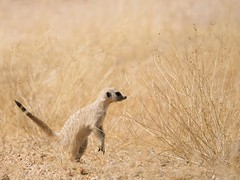 (Unvoyageur) Tags: animals animaux mammals meercat suricate mammiferes