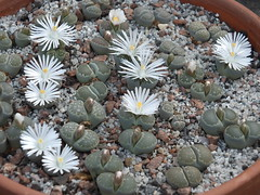 DSCF0412 (BobTravels) Tags: plant stone bob lithops lithop messem bobwitney