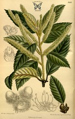 Anglų lietuvių žodynas. Žodis lithocarpus reiškia litocarpus lietuviškai.