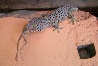 Sihanoukville - Tokay Gecko