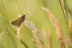 Small Skipper (Thymelicus sylvestris) (chrissmithphotos1) Tags: summer england orange brown flower nature closeup butterfly insect europe adult skipper lepidoptera invertebrate smallskipper differentialfocus