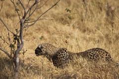 Hunting.... (www.JnyAroundTheWorld.com - Pictures & Travels) Tags: leopard bigcat africa safari botswana moremi kwhai moremigamereserve gamedrive jny canon jnyaroundtheworld jenniferlavoura