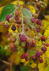 berries2 (Samtian) Tags: