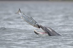 Dolphin flips salmon by D Trim-Rex Shutterstock (mpt.1607) Tags: scotland dolphin hunting may salmon 25 dolphins eats flips moray firth bottlenose 2015 notpersonality 29315889