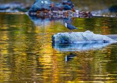 Dipper reflected (ABPhotosUK) Tags: animals autumn birds bokeh canon dartmoor devon dipper dippers ef100400mmisii eos7dmarkii reflection rivertavy seasons wildlife