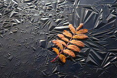 Frozen leaf on frozen pond. Explored (harald.bohn) Tags: is ice frost rowan leaf blad rogn pond dam pattern crystals explore