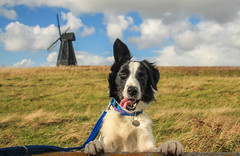 Dodge (Explored!) at Rottingdean (sharongellyroo) Tags: dodge rottingdean sussex bordercollie rescue holidays inexplore