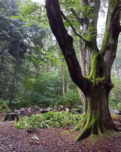 Forest Walks Beautiful old tree at Haddo House, brief break in the rain with some light.  #haddohouse #forest #woods #beautifultree #old #rain #autumn