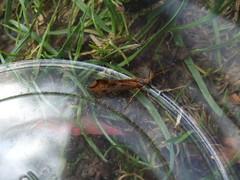 Caddisfly (Limnephilus lunatus)SCF6194 (rforeman59) Tags: caddisfly limnephilus lunatus trap