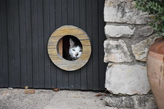 Gatito (esta_ahi) Tags: baixcamp gat cat gato felis silvestris catus felissilvestriscatus felidae mammalia animales domsticos fauna architecture arquitectura capafonts tarragona spain espaa  gatera