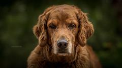 wisdom (Tom Landretti) Tags: golden dog goldenretreiver wisdom cider