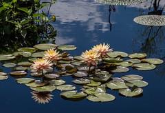 Ninfeias (pmenge) Tags: denver botanicgarden ninfeias 18135 xt1