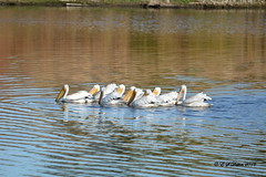 October 9, 2016 - Pelicans fish in a Thornton pond. (Ed Dalton)
