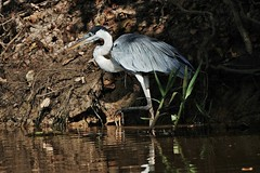 Cocoi Heron On The Riverbank (Susan Roehl) Tags: braziltrip2016 cuiabariver thepantanal brazil southamerica cocoiheron ardeacocoi ardeidaefamily naturalhabitatsrivers swamps freshwaterlakes bird animal riverbank outdoor sueroehl naturalexposures photographictours panasonic lumixdmcgh4 100400mmlens handheld photographedfromboat middleofriver ngc