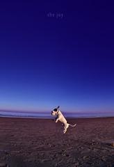"""joy is the simplest form of gratitude"" (richy vanesio) Tags: joy gioia pedrito ravenna marinadiravenna beach onthebeach spiaggia dogs dogsonthebeach cani canisullaspiaggia mare maredinverno seainwinter flyingdogs canichevolano explore"