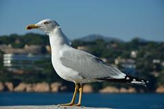 Love of lesbian - En busca del mago (vdbdc) Tags: gavina gaviota seagull bird ocell pajaro