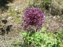 Allium spec 2 (heinvanwinkel) Tags: 2013 allioideae alliumspec amaryllidaceae asparagales bloemvandedag euphyllophyta griekenland juni kastraki liliopsida magnoliophyta mesangiospermae petrosaviidae spermatophyta tracheophyta ui