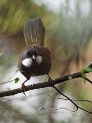 Eastern Whipbird (Vas Smilevski) Tags: easternwhipbird whipbird psophodesolivaceus eupetidae birds bird birding avian feathers wildlife animals australianbirds australia nsw nature ngc getolympus m43 olympusomdem1 mzuiko300mmf4pro 300mm omd em1 olympus olympusau olympusinspired