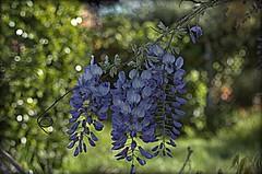 WISTERIA IN BLOOM (PATARIKA) Tags: wisteria vine bloom mauve purple garden spring bokeh
