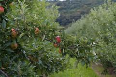 ckuchem-2459 (christine_kuchem) Tags: apfelplantage biolandwirtschaft erntezeit landbau landwirtschaft naturhof obstplantage biologisch obstbã¤ume reif ãpfel