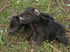 spotted hyena Blijdorp JN6A3334 (j.a.kok) Tags: hyena spottedhyena gevlektehyena crocutacrocuta blijdorp zoogdier mammal kira predator afrika africa