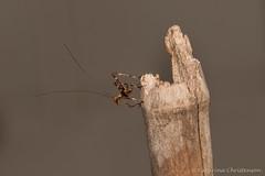 Baby katydid (kasia-aus) Tags: australia canberra animal baby bug insect katydid macro nature nymph tiny wildlife