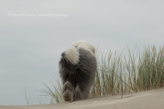 beach view (dewollewei) Tags: oldenglisgsheepdog oldenglishsheepdog oes bobtail dewolewei ameland wadden dog hond dogs