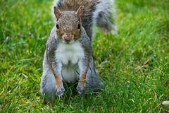 Where Are The Nuts (fotojak1) Tags: squirrel rodent animal wildlife outdoor outside outdoors edinburghsroyalbotanicgarden scotland autumn october2016 handheld nikond7100 sigma18200mm f63at1500 iso1000 johnritchie edinburghsquirrels fotojak