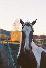 Horse Portrait (Nsharp17) Tags: nikon nikonfe film 35mm kodak ektar ektar100 horse farm goldenhour autumn fall foliage vermont