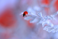 Jacobaea maritima (ElenAndreeva) Tags: flowers red forest beauty color flower blue sun light cute colors 500px dof insect canon garden soft dream colorful composition cool sweet focus bug amazing nature bokeh winter macro ledybug