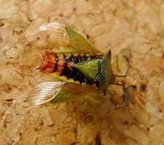Hawthorn Shield Bug. Acanthosoma haemorrhoidale (gailhampshire) Tags: hawthorn bug acanthosoma haemorrhoidale taxonomy:binomial=acanthosomahaemorrhoidale shield explored