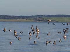 Shorebirds arriving (Hone Morihana) Tags: westerntreatmentplant shorebirds migratorybirds curlew sandpiper