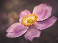 Love, love me do (Stadt_Kind) Tags: stadtkind europe germany kemptenbavaria depthoffield doflicious dof bokehlicious bokeh getolympus olympusem10markii naturephotography nature macrophotography macro petal blte blume pflanze plant fleur flores flower anemone love