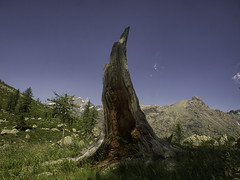 Laboratorio di lettura (Lumase) Tags: larch wood deadtree deadwood high mountain alps alpine afframont wilderness wildness peak summer landscape beautyinnature