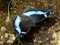 Blue admiral (LPJC) Tags: munnar kerala india 2015 lpjc blueadmiral butterfly kaniskacanace