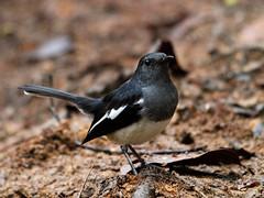 Oriental Magpie Robin (WilliamPeh) Tags: olympus e3 sigma 800mm bird birding oriental magpie robin wild wildlife explore