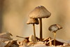 Das Paar (Don Bello Photography) Tags: herbst 2016 tollensesee wald waldboden waldfrüchte neubrandenburg pilz paar macro acdseeultimate10 lichtundschatten panasonicphotographer panasonicfz1000 lumixphotographer lumixfz1000 norddeutschland northerngermany mecklenburgvorpommern reinhardbellmann donbello donbellophotography 50favorites 1000views 100favorites 2000views 150favorites 3000views acdsee
