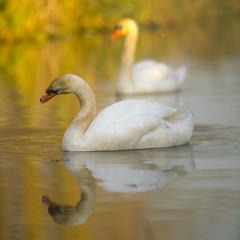 Spiegeltje spiegeltje ........ (look to see) Tags: knobbelzwaan swan abeek beek bree belgium goldenlight 2016