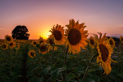 Atardecer entre Girasoles... (protsalke) Tags: sunset sunflowers sky beautiful colors calm field sun nikon spring primavera girasoles atardecer cielo