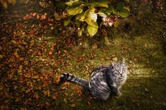 cutie Minni.. (clo dallas) Tags: outdoor autumn autunno cat feline cute sweet nature gatto garden leaves fall sonyilce7m2