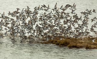 Dunlin sandpipers taking off