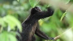 Howler Monkey Feeding In The Rain - Video (Hamilton Images) Tags: mantledhowler alouattapalliata howlermonkey monkey mammal fur tropicalforest canopytower panama centralamerica canon 7dmarkii 500mm october 2016 hdvideo video img6389
